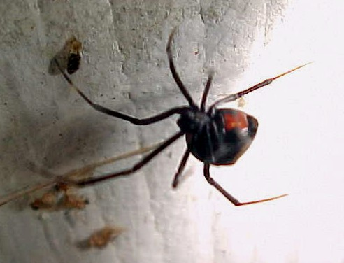 blackwidow1.jpg