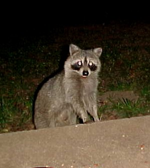 raccoon3sept15.jpg
